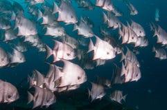 École de la natation d'espadons dans l'océan Image libre de droits