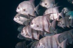 École de la natation d'espadons dans l'océan Photo libre de droits