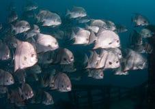 École de la natation d'espadons dans l'océan Photos libres de droits