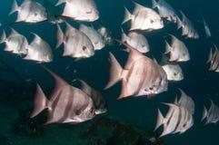 École de la natation d'espadons dans l'océan Images libres de droits