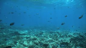 École de sergent Indo-Pacifique, vaigiensis d'Abudefduf, bains au-dessus du récif coralien clips vidéos