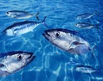 École de thons de thonine sous-marine Images libres de droits