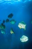 École des espadons sous-marins Photo libre de droits