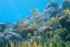 École des grognements sur un récif coralien image stock