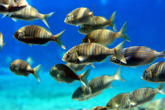 École des poissons Images libres de droits