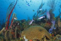 École des poissons au-dessus de Coral Reef tropicale photos stock