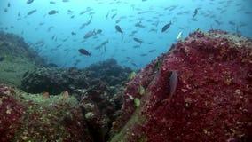 École des poissons dans Galapagos banque de vidéos