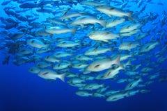 École des poissons de cordelette Photographie stock