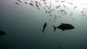 École des poissons de scad de saurels sous-marins à la recherche de la nourriture en Maldives clips vidéos