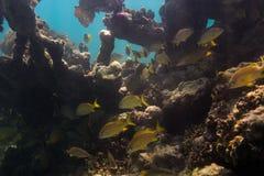 École des poissons en récif coralien Photographie stock libre de droits