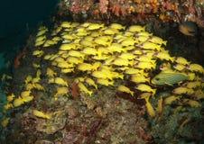 École des poissons jaunes Images libres de droits