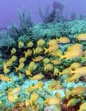 École des poissons jaunes images stock