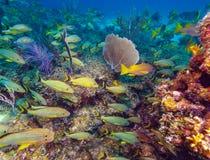 École des poissons jaunes photo stock