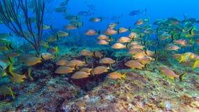 École des poissons jaunes photo libre de droits