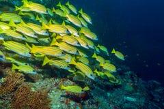 École des poissons jaunes, Maldives images stock