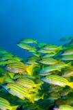 École des poissons jaunes, Maldives photographie stock