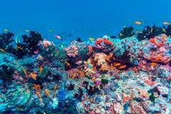 École des poissons près de Coral Reef, Maldives photos libres de droits