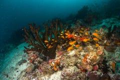 école molle colorée de corail et de poissons sur un récif dans l'océan, Mald images libres de droits