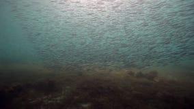 École sous-marine orientale d'harengs des poissons en mer de Barents de la Russie banque de vidéos