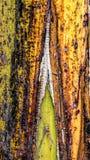 Écorce colorée de bananier épluchant la texture ou le fond off- photos stock