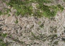Écorce d'érable de sycomore Photos libres de droits