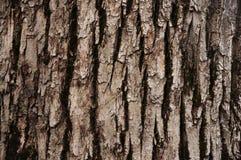 Écorce d'arbre à feuilles caduques Image stock