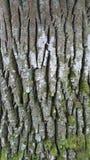Écorce d'arbre image stock