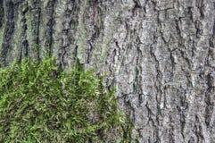 Écorce d'arbre avec l'anophyte Image stock