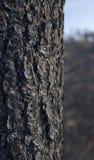 Écorce d'arbre brûlée Photo stock