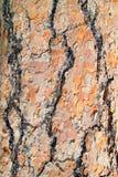 Écorce d'arbre colorée de pin Photographie stock