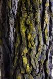 Écorce d'arbre couverte de lichen Photos stock
