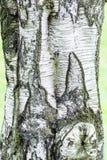Écorce d'arbre d'arbre de bouleau Photographie stock libre de droits