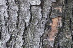 Écorce d'arbre d'un fond de texture de châtaigne images stock