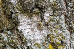 Écorce d'arbre de bouleau image libre de droits