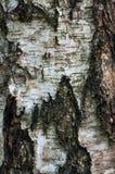 Écorce d'arbre de bouleau photo stock