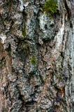 Écorce d'arbre de bouleau image stock
