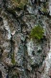 Écorce d'arbre de bouleau photographie stock