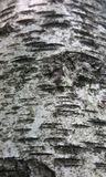 Écorce d'arbre de Burch Image libre de droits