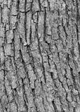 Écorce d'arbre de cendre Photographie stock