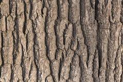 Écorce d'arbre de chêne Photographie stock libre de droits
