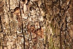 Écorce d'arbre de chêne Photo libre de droits