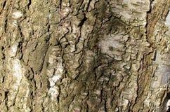 Écorce d'arbre de hêtre Image libre de droits