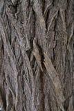 Écorce d'arbre de peuplier Photographie stock