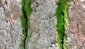 Écorce d'arbre de pin Images libres de droits