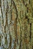 Écorce d'arbre de pin Photo stock