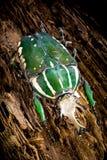 Écorce d'arbre de polyphemus de Chelorrhina Photo stock