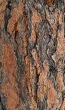 Écorce d'arbre de ponderosa Photo libre de droits
