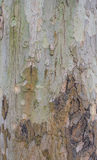 Écorce d'arbre de sycomore. Photo libre de droits
