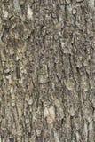 Écorce d'arbre de tilleul Images libres de droits