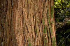Écorce d'arbre de Totara Photo stock
